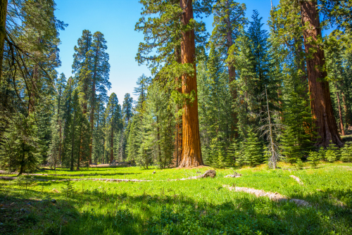 Giant sequoia trees in a meadow